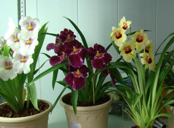Камбрія – красива і невибаглива орхідея  b4e4ec45817f6
